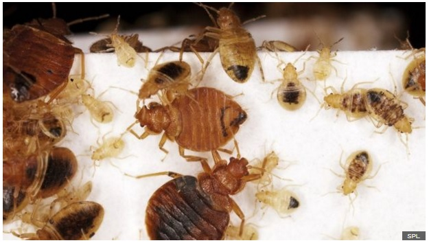 89425250 c0200009 bed bug adults and nymphs spl